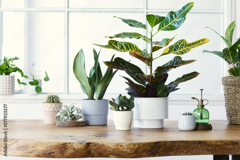 Fototapeta Modern composition of home garden filled a lot of beautiful plants, cacti, succulents, air plant in different design pots. Stylish botany interior. . Home gardening concept. Template.