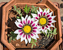Isolated, Close-up Image Of Two White & Pink Gazania Flowers With Yellow Center.
