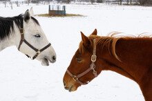 Gray Thoroughbred Horse Talking To A Chestnut Mare In A Snowy Field