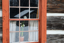 White Jonquil In The Window Of An 17th Century Log Cabin In Winter