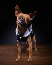 Studio Shot Of A Dog On An Iso...