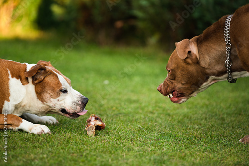 Papel de parede Two dogs amstaff terriers fighting over food