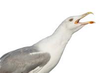 A Large Seagull Screams, Openi...