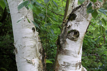 Closeup Shot Of A Birch In The Forest
