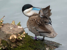 A Ruddy Duck Preening By The Pond