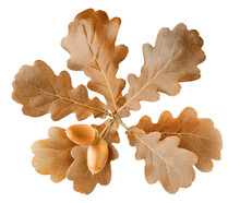 Two Ripe Acorns On Autumn Oak Tree Branch With Brown Leaves Isolated On White Background