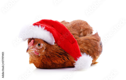 Chicken in a Christmas hat. Canvas Print