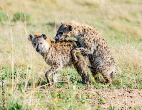 Two Hyenas Mating in Masai Mara National Reserve Canvas Print