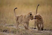 Lion Cubs, Masai Mara Game Reserve, Kenya