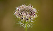 Selective Focus Shot Of Queen Anne's Lace