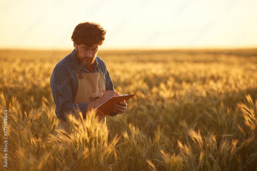 Fototapeta Waist up portrait of mature bearded man holding clipboard and wearing apron walking across golden field in sunset light, copy space