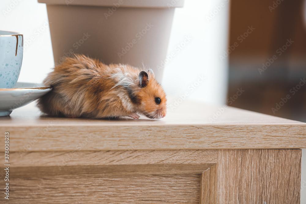 Fototapeta Curious funny hamster on table