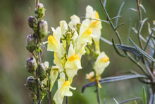 Selective Focus Shot Of Yellow Snapdragon Flowers