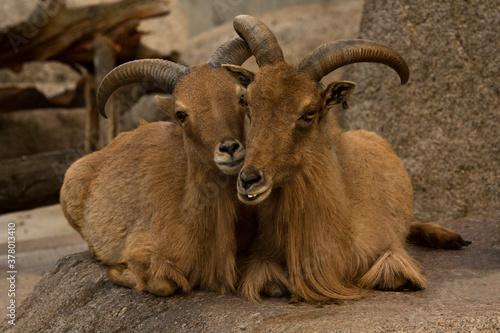 The Barbary sheep (Ammotragus lervia). Fototapete