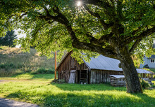 Old Wooden Shed Under A Spreading Tree In Sunshine