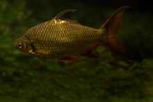 The Tinfoil Barb (Barbonymus S...