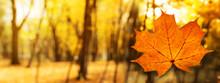 Orange Autumn Maple Leaf In Fo...