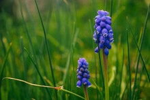 Closeup Shot Of A Grape Hyacinth