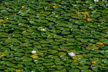 White Lotus Flowers Blooming In A Lake With Lily Pads, As A Nature Background