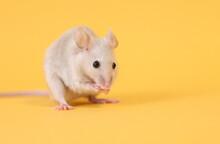 ネズミと山吹色の背景