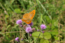 Closeup Of A Silver-washed Fritillary On Thistles In A Field Under The Sunlight