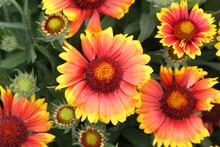 Closeup Of Gaillardia Pulchella Growing In A Garden Under The Sunlight