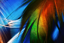 Macro Photo Of Brightly Colorful Rooster Detailed Feather On White Feathers Background Underwater