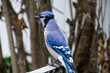 Blue Jay perched on Gardening Equipment