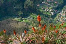 Beautifully Flowering Aloe Ver...