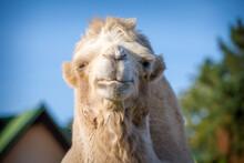 Bipedal Camel Portrait In Nature