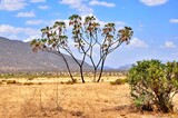 Fototapeta Sawanna - Palmy po środku sawanny. Park narodowy Samburu (Kenia)