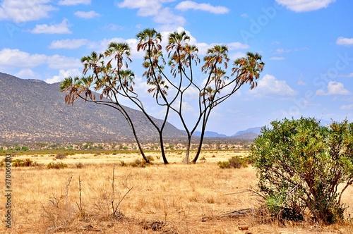Palmy po środku sawanny. Park narodowy Samburu (Kenia)
