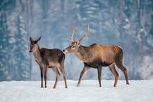 Deer In Beautiful Winter Lands...