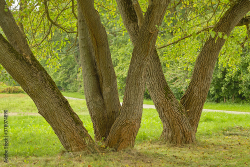 Canvastavla tree trunks on a background of green foliage and grass in the park