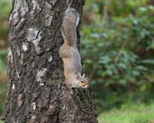Eastern Gray Squirrel,Sciurus Carolinensis Climbing Down A Tree Face First.