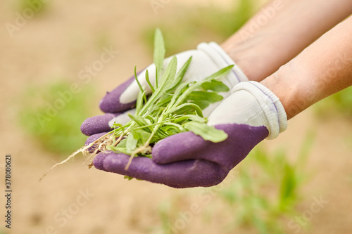 Fotografia gardening and people concept - happy smiling woman weeding flowerbed at summer g