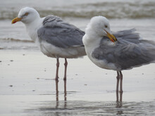 Closeup Of Two Seagulls Wading...