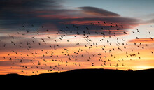 Starlings Flocking Together In The Sky At Sunset