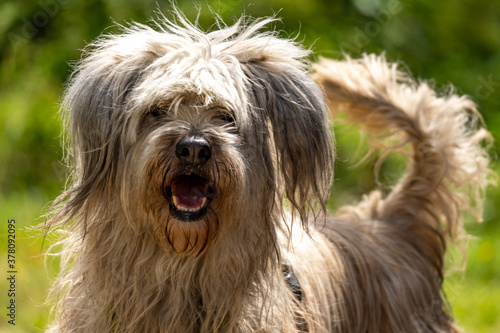 Fototapeta Closeup of a cheerful Portuguese Sheepdog in a field under the sunlight with a blurry background obraz