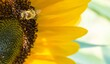 canvas print picture - Biene in Sonnenblumenblüte