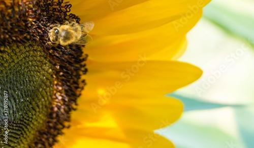 Photo Biene in Sonnenblumenblüte