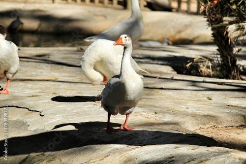 Fotografie, Obraz Ducks in Reina Sofia park in Guardamar