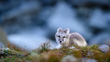 Wild Arctic Fox Cub (Vulpes La...
