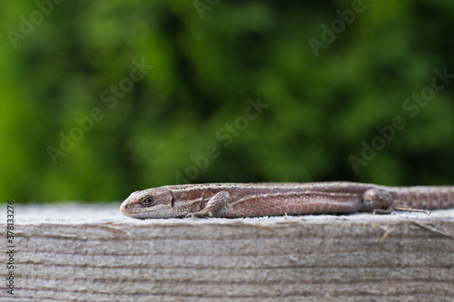 Photo a brown lizard on a wooden board in a summer garden on a green grass background