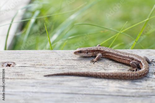 a brown lizard on a wooden board in a summer garden on a green grass background Wallpaper Mural