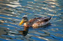 Male Mallard Duck Swimming On ...