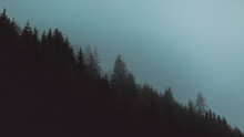Tall Spruce Trees In The Foggy...