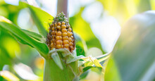 Corn Ear With Yellow Seeds And...