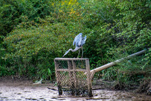 Great Blue Heron Sitting On Grate At Wildlife Sanctuary In Roswell Georgia.