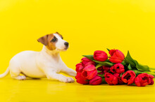 Jack Russell Terrier Puppy Wit...